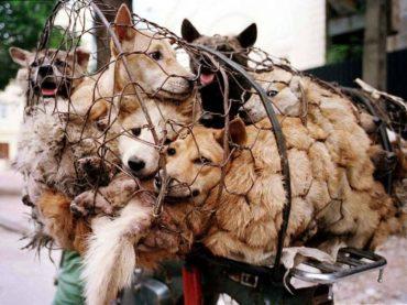 L'Associazione Animalisti Italiani Onlus organizza un presidio davanti all'Amasciata cinese contro la strage dei cani