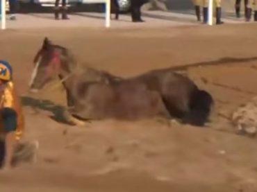 Video. Palio di Castel Madama: cavallo cade e resta ferito, la LAV richiede l'accesso agli atti e chiede di conoscere lo stato di salute del cavallo infortunato