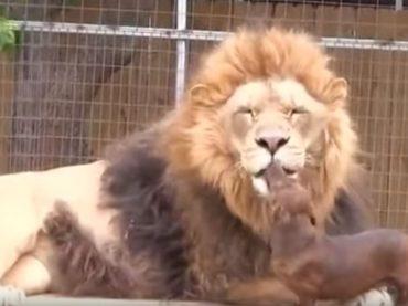 Il leone e il bassotto amici per la pelle