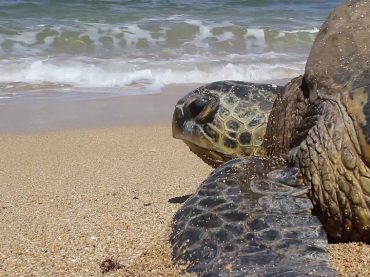 Il 22 maggio due tartarughe Caretta caretta verranno restituite al mare